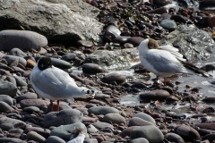 Mediterranean Gull (Summer Plumage)