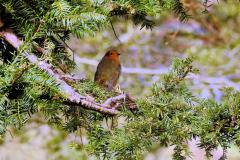 Robin at Dunster Castle
