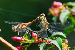 Nature Ambles 2020 Sept.  Bossington.  Darter mating