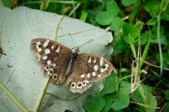 Nature Ambles 2020 Sept.  Bossington.  Speckled wood