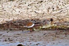 Birding_Little-Ringed-Plover
