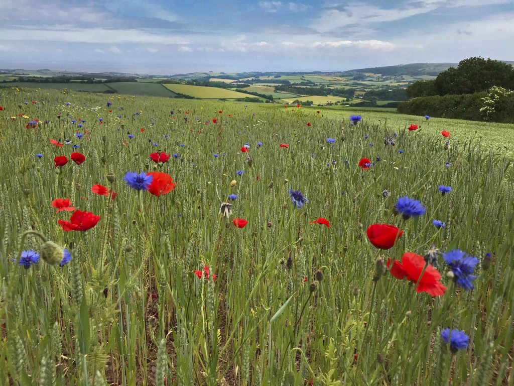 Image shows a field at Stogumber, full of red and blue wildflowers